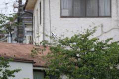 小池公園のコアジサシ