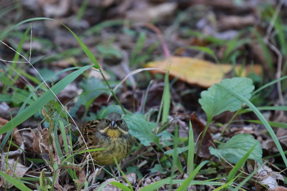 小池公園にアオジが3羽