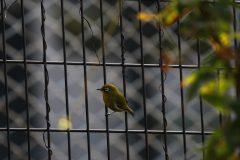 小池公園のメジロ
