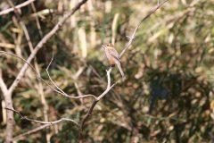 桜ヶ丘公園のモズ
