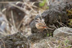 西湖 野鳥の森公園のホオジロ