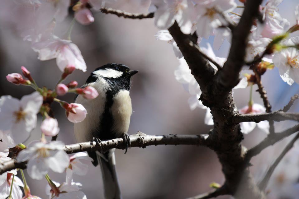 シジュウカラが桜の枝に!