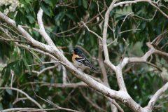西湖 野鳥の森公園のアトリ