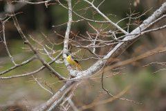 西湖 野鳥の森公園のキセキレイ
