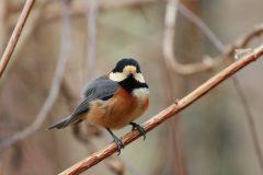 西湖 野鳥の森公園のヤマガラ