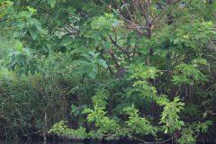 小池公園のホシゴイ