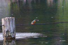 小池公園のカワセミ