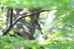洗足池のサンコウチョウ