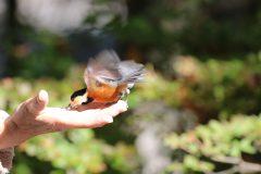 西湖 野鳥の森公園の手乗りヤマガラ