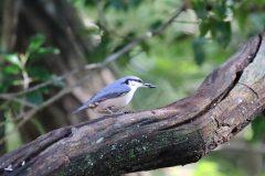 西湖 野鳥の森公園のゴジュウカラ