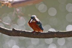 薬師池公園のカワセミ