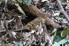 東高根森林公園のトラツグミ