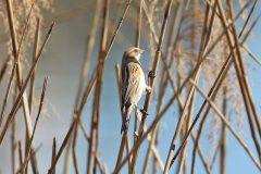 東京湾野鳥公園のオオジュリン