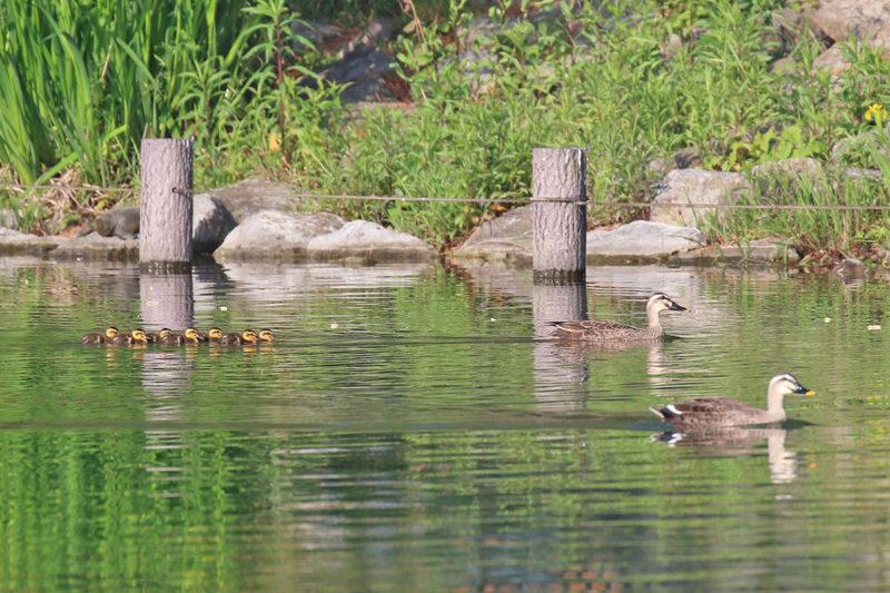 洗足池のカルガモ