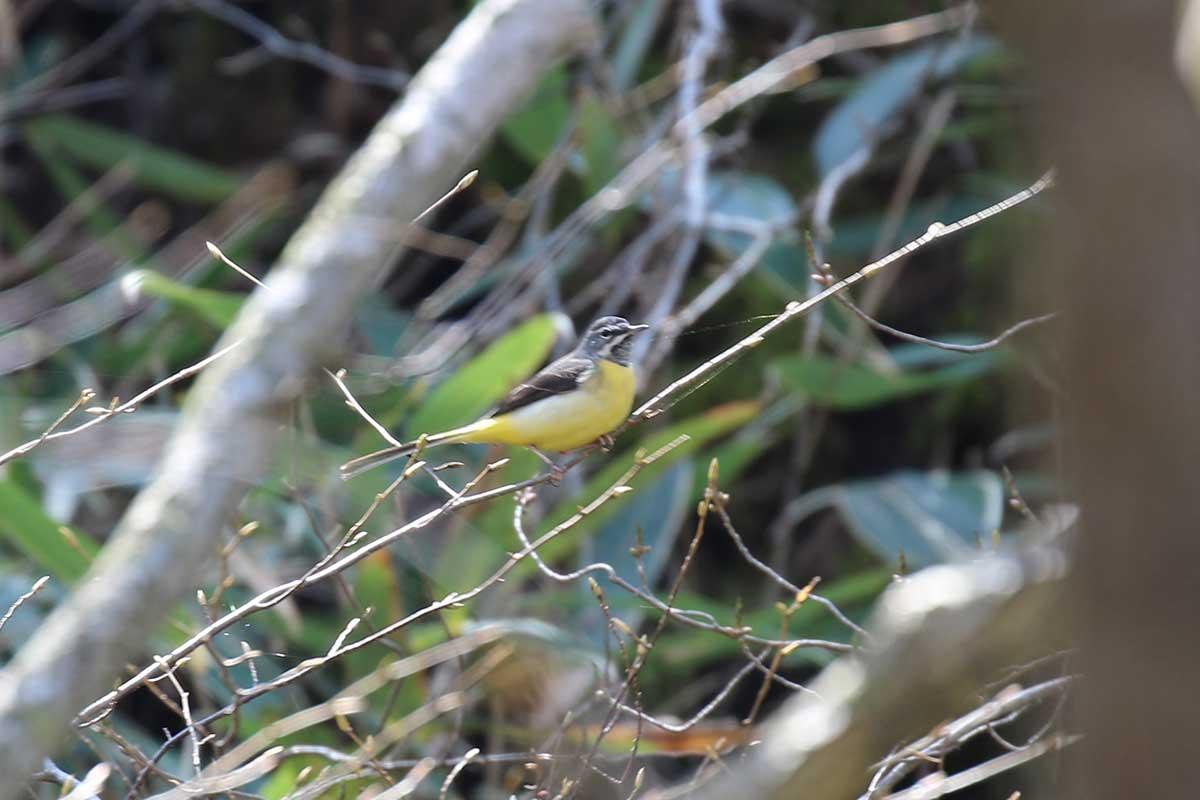 西湖野鳥の森公園のキセキレイ