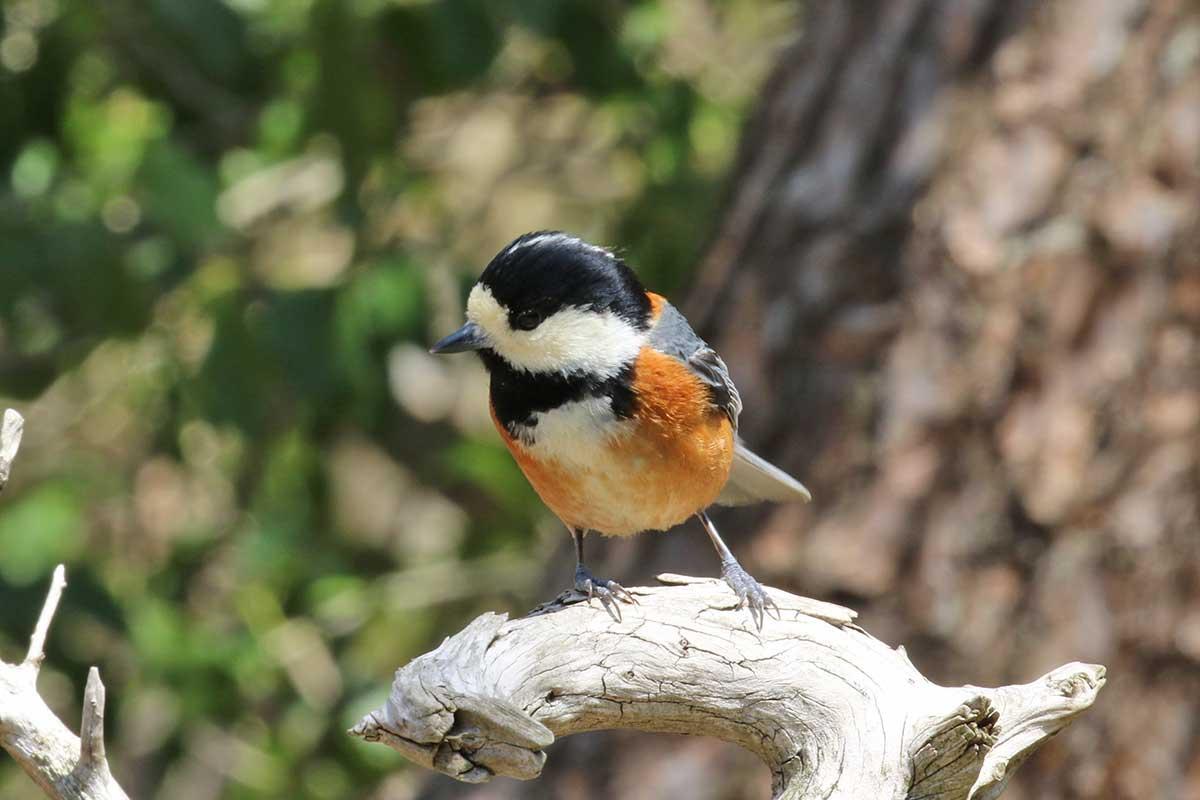 西湖野鳥の森公園のヤマガラ