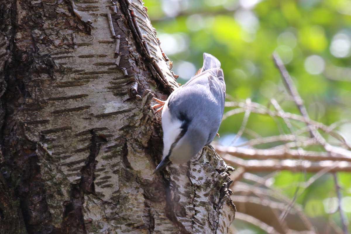 西湖野鳥の森公園のゴジュウカラ