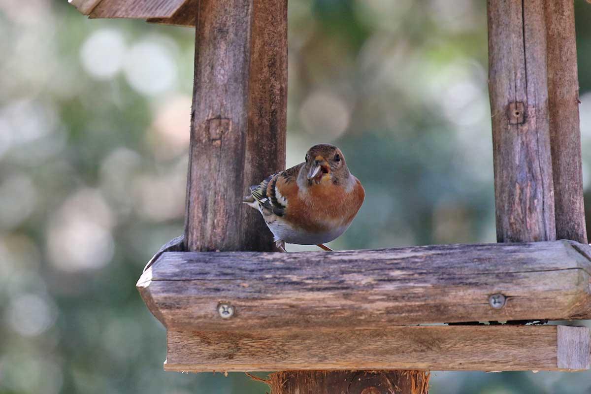 西湖野鳥の森公園のアトリ