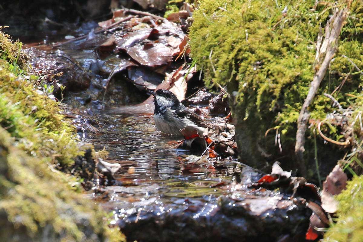 西湖野鳥の森公園のヒガラ