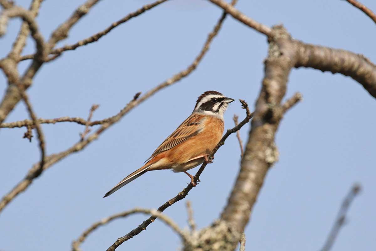 西湖野鳥の森公園のホオジロ
