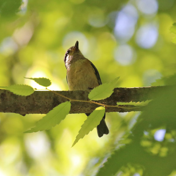 森戸川源流のヤマガラの幼鳥