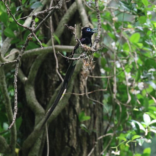 森戸川源流のサンコウチョウ