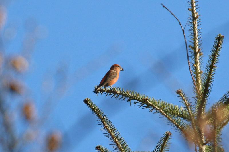 西湖野鳥の森公園のイスカ