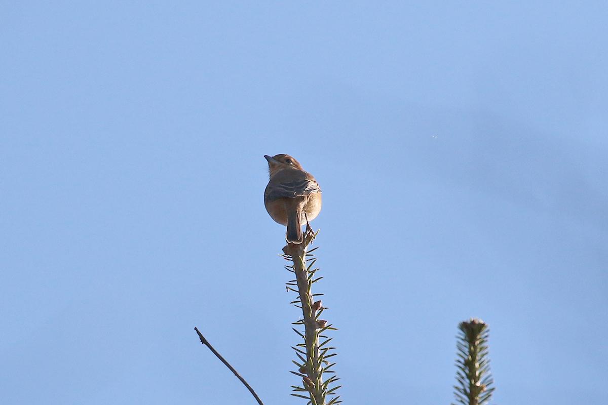 西湖野鳥の森公園のモズ