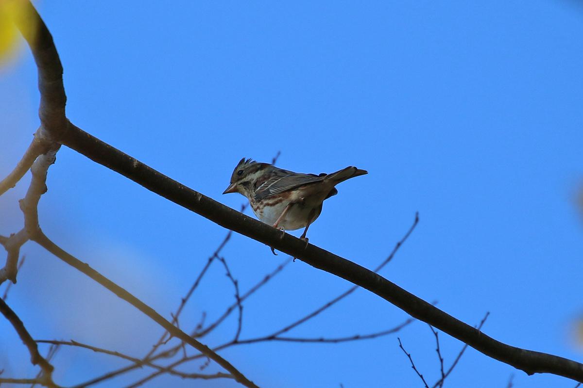西湖野鳥の森公園のカシラダカ