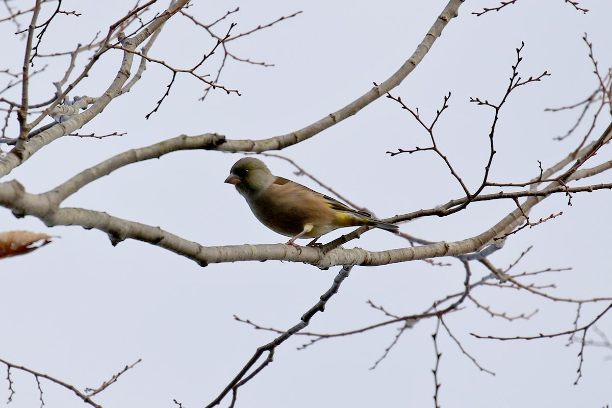 西湖野鳥の森公園のカワラヒワ