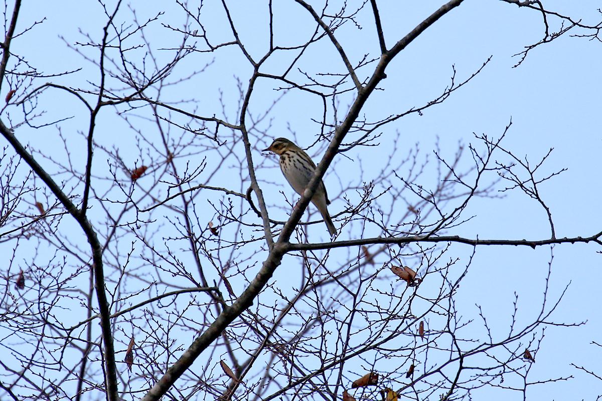 西湖野鳥の森公園のビンズイ