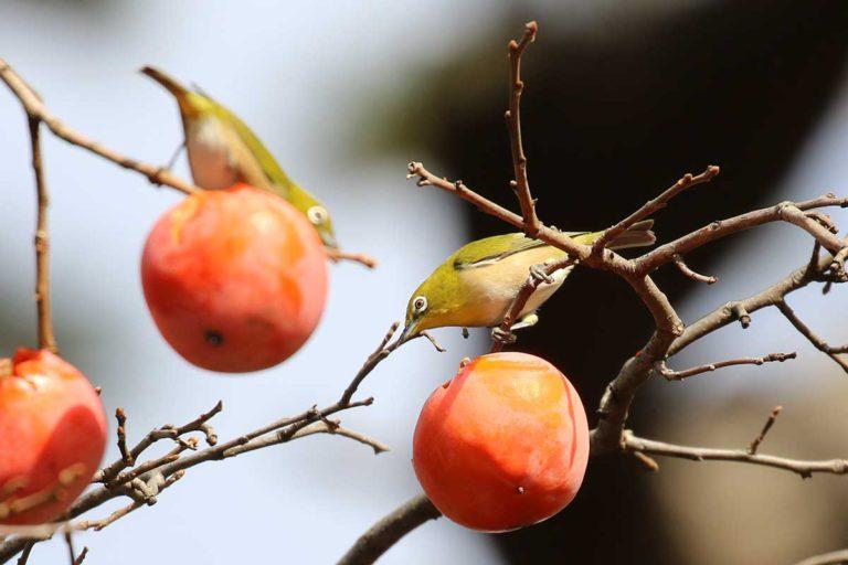 柿の木にメジロ
