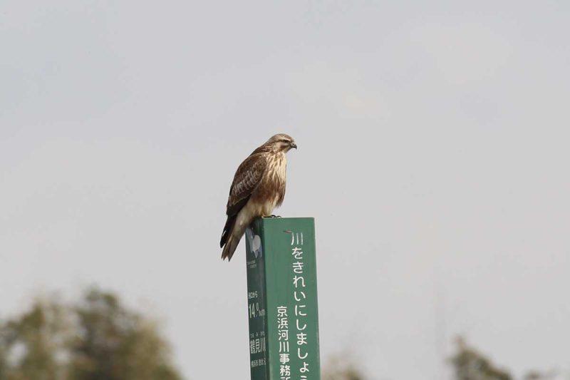 新横浜公園のノスリ