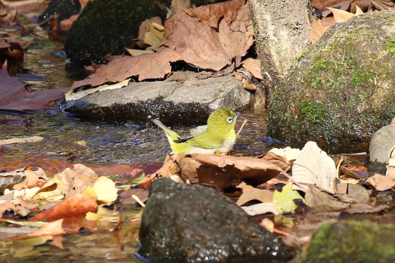 洗足池のメジロ