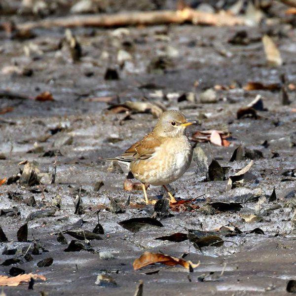 秋ヶ瀬公園のシロハラ