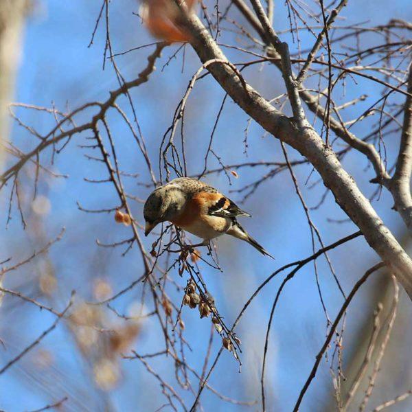 秋ヶ瀬公園のアトリ