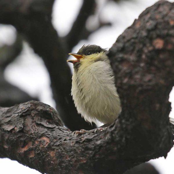 自宅の庭にシジュウカラ幼鳥