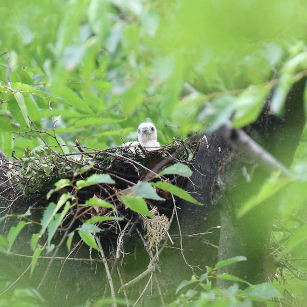 ツミの赤ちゃん