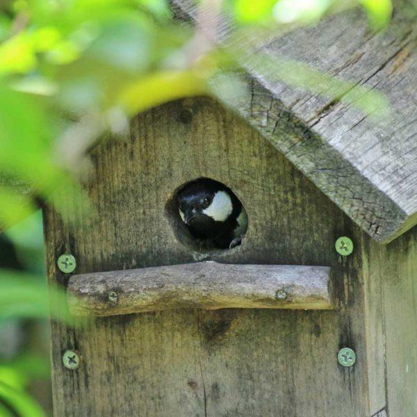 巣箱にシジュウカラ