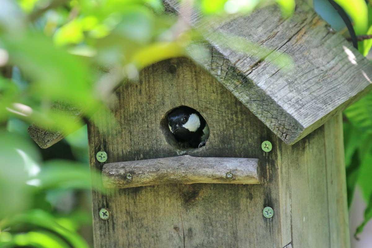 巣箱にシジュウカラ!