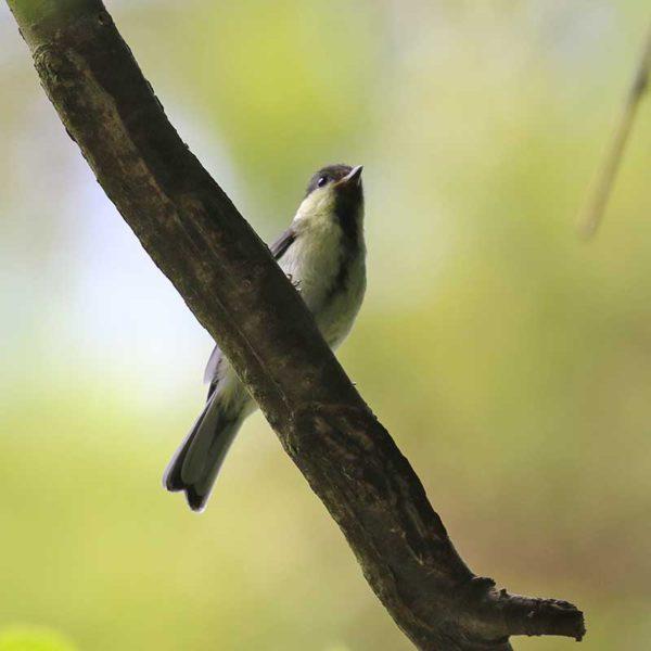 森戸川源流のシジュウカラ幼鳥
