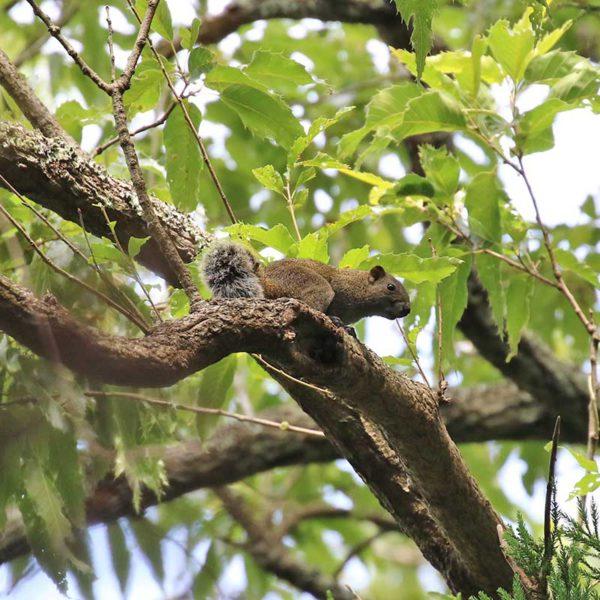 森戸川源流の台湾リス