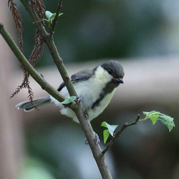 八王子城跡のシジュウカラ幼鳥